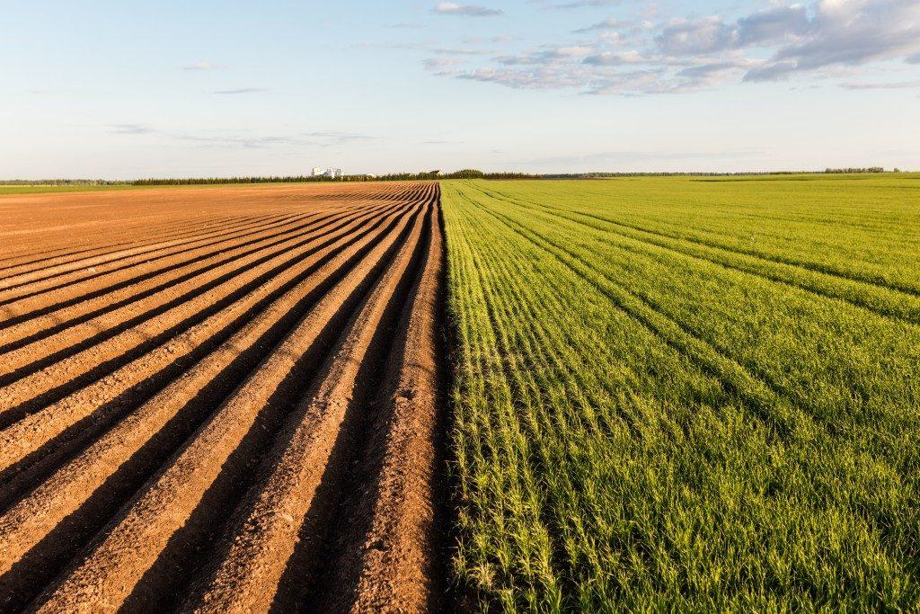 Plowed wheat crop field