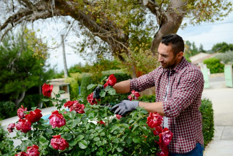 man picking red roses in the garden