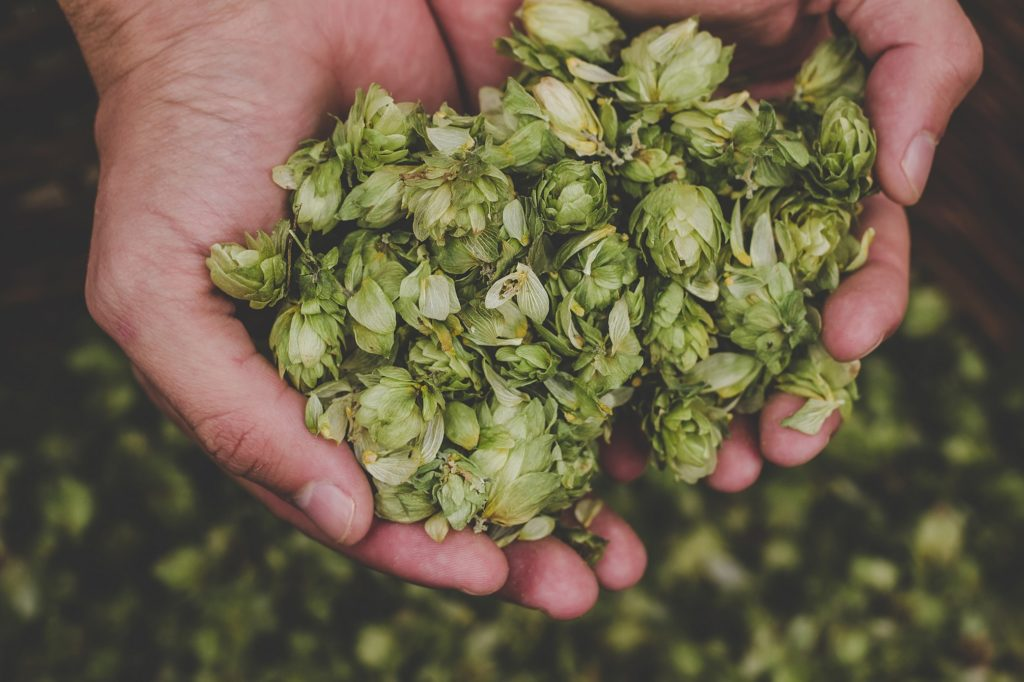 hops leaves on a hand